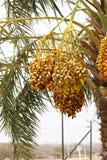 Dates jaunes d'or s'élevant et accrochant outre du palmier dattier DANS DUABI, EAU le 26 juin 2017 Image stock