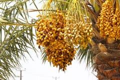 Dates jaunes d'or s'élevant et accrochant outre du palmier dattier DANS DUABI, EAU le 26 juin 2017 Image libre de droits