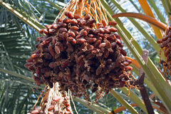 Dates of Jericho. Bundle of dates in Jericho, Israel Stock Photo
