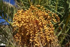 Dates mûres fraîches s'élevant sur un palmier Images stock