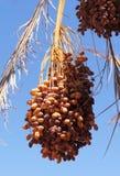 Dates mûres sur le palmier Image libre de droits