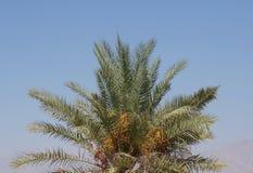 Dates mûres sur le palmier Photographie stock libre de droits