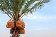 Dates non mûres sur le palmier Photo stock