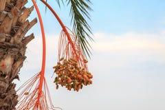 Dates oranges et vertes non mûres accrochant sur la branche du palmier Images libres de droits