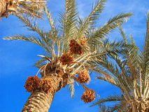 Dates on the palm Stock Images