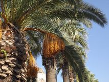 The dates on the palm. The fruits of date palms in Turkey Stock Photo