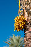 Dates on a palm Royalty Free Stock Photography