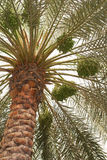 Dates palm tree Stock Photos