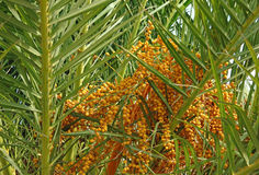 Dates in palm tree royalty free stock photography