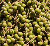 Dates from a Palm tree. Closeup of a dates from a palm tree, ideal for a background Stock Photography