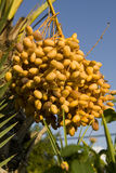 Dates palm tree Royalty Free Stock Photo