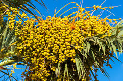 Dates, palm tree fruits Royalty Free Stock Images