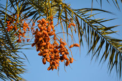 Dates on a palm tree. Orange dates hanging on a palm tree Royalty Free Stock Image