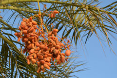 Dates on a palm tree. Orange dates hanging on a palm tree Royalty Free Stock Photography