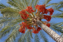 Dates on palm tree Stock Photos