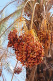 Dates on the palm tree Royalty Free Stock Image