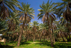 Dates Palms Royalty Free Stock Photo
