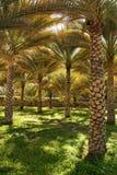 Dates Palms. Farm in Oman Stock Photo