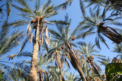 Dates palms forest Stock Photo