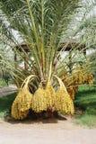 dates palmträdet Arkivbild