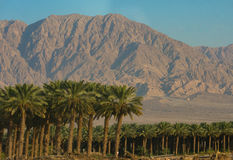Dates plantations with mountains Royalty Free Stock Photo
