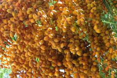 Dates that ripen on the date tree.  stock images