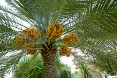 Dates ripening on a date palm tree Stock Photo
