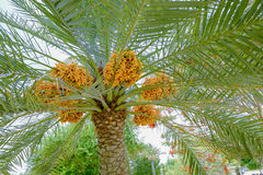 Dates ripening on a date palm tree Royalty Free Stock Images