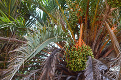 Dates Ripening - Tropical Palm Tree Plants Stock Photography