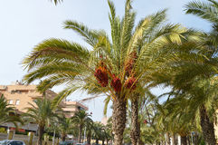 Dates Ripening In The Spanish Sun - Palm Trees Stock Image