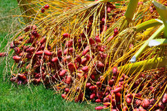 Dates rouges sur une paume Photo stock