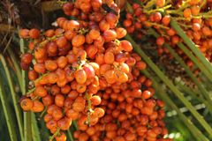 Dates sur le palmier image libre de droits