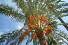 Dates at the top of a palm tree Royalty Free Stock Image