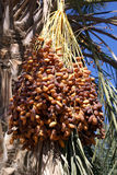 Dates on the tree Stock Images