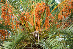 Datiert Orangen Stockfotografie