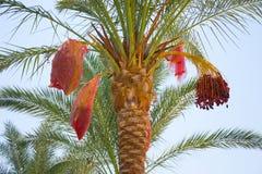 Dattelpalme im Sharm el Sheikh Lizenzfreie Stockfotos