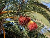 Dattelpalme mit Früchten Lizenzfreie Stockfotos
