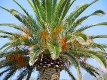 Dattelpalme mit Früchten Lizenzfreies Stockbild