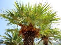 Dattelpalme mit Früchten Stockbilder