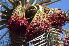 Dattelpalme mit Früchten Stockbild