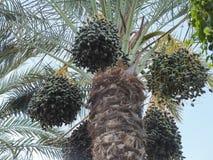 Dattelpalme mit Früchten Stockfotografie
