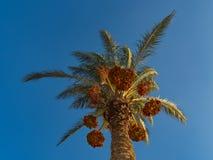 Dattelpalme mit reifen Früchten stockfoto