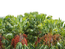 Dattelpalmebäume lokalisiert Lizenzfreie Stockfotografie