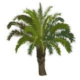 Dattelpalmebaum in der Farbe Stockfoto