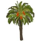Dattelpalmebaum mit Früchten Lizenzfreie Stockbilder