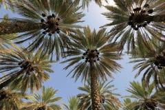 Dattelpalmebäume Lizenzfreie Stockfotografie