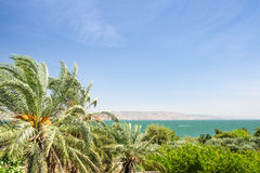 Dattelpalmen auf dem Ufer von See Kinneret stockbild
