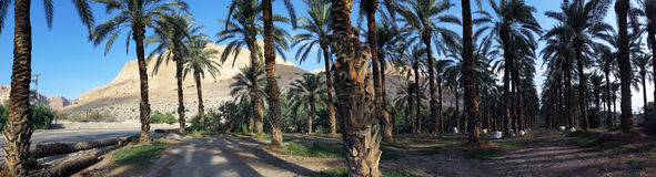 Dattelpalmen in en Gedi, Israel Lizenzfreies Stockbild