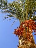 Dattes fraîches sur l'arbre 02 Image stock