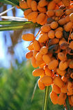 Dattes, fruits de palmier Photo stock